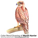 How to Draw a Marsh Harrier