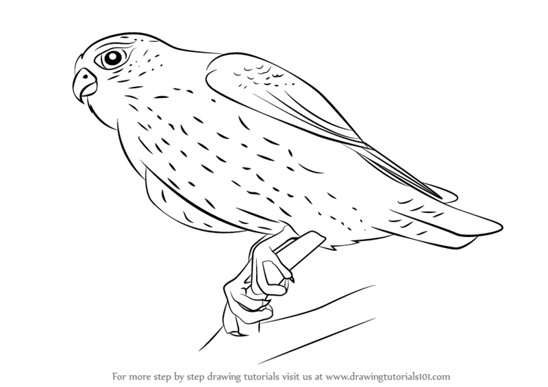 Learn How to Draw a Merlin (Bird of prey) Step by Step ...
