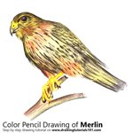 How to Draw a Merlin
