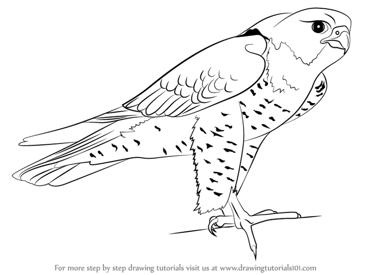 Peregrine falcon drawing step by step for Birds of prey coloring pages