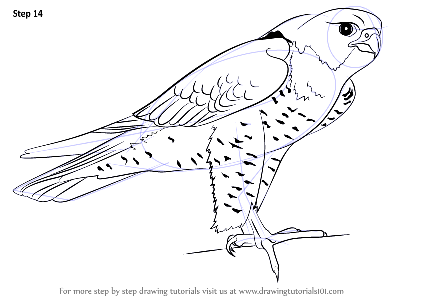 learn how to draw a peregrine falcon bird of prey step