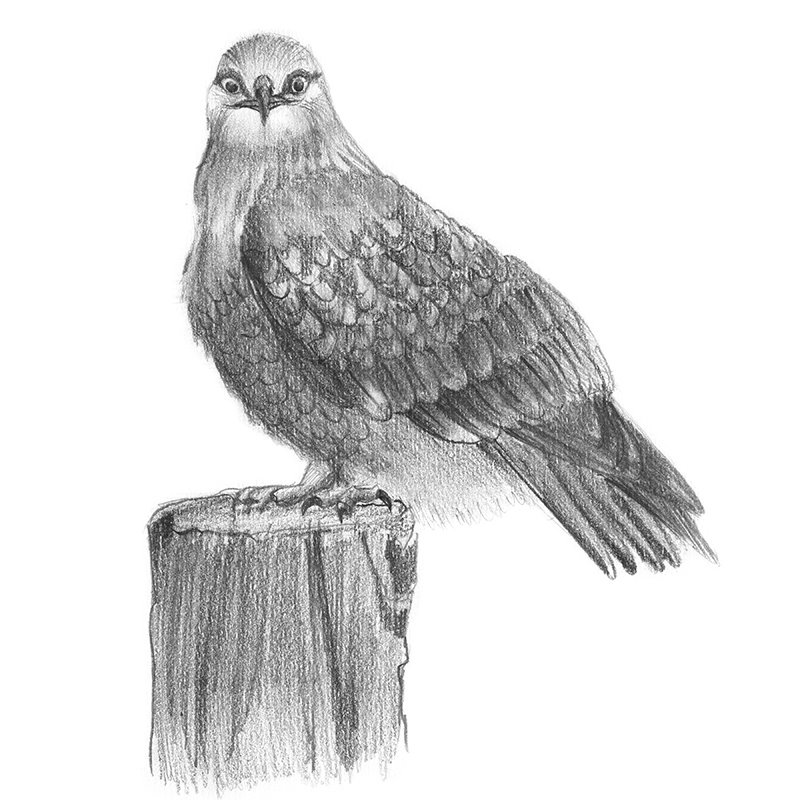roughlegged hawk pencil drawing how to sketch rough