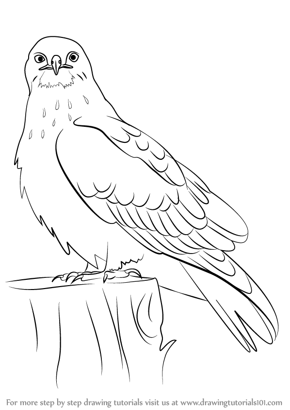 learn how to draw a rough legged hawk bird of prey step by step drawing tutorials