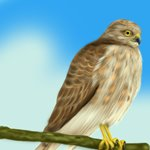 How to Draw a Sharp-Shinned Hawk