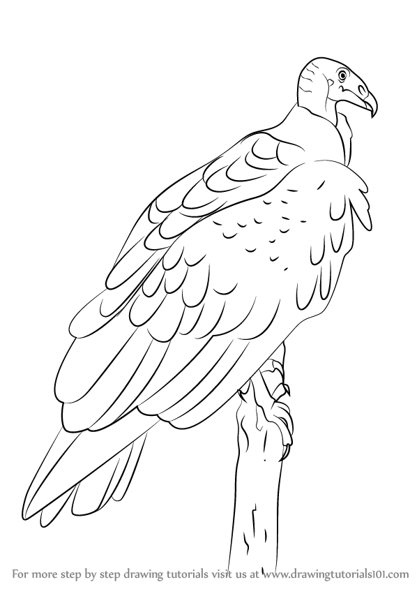 Vulture Line Drawing Learn How to Draw a Tu...