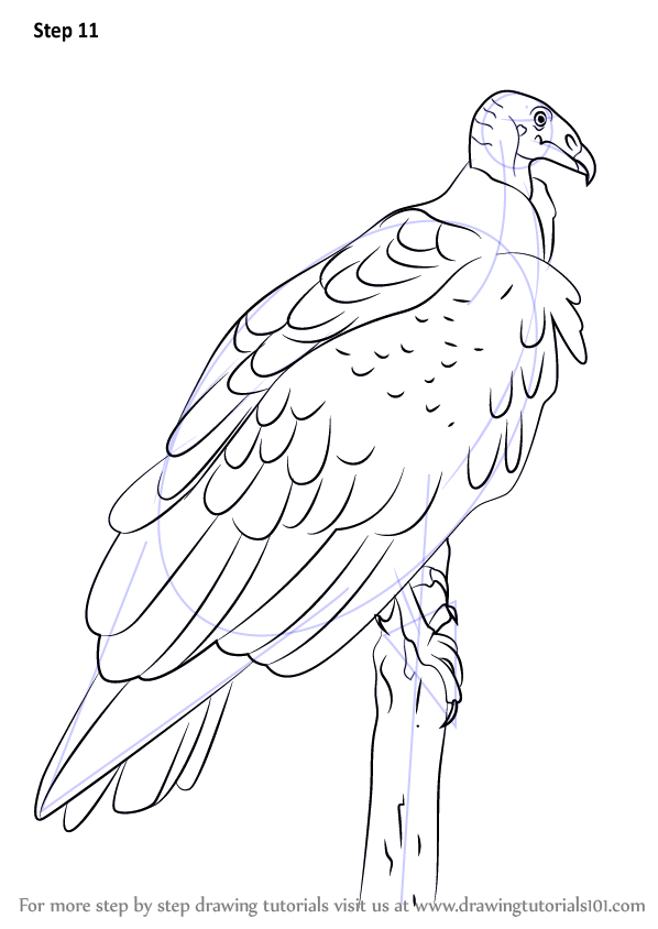 Step by Step How to Draw a Turkey Vulture ...