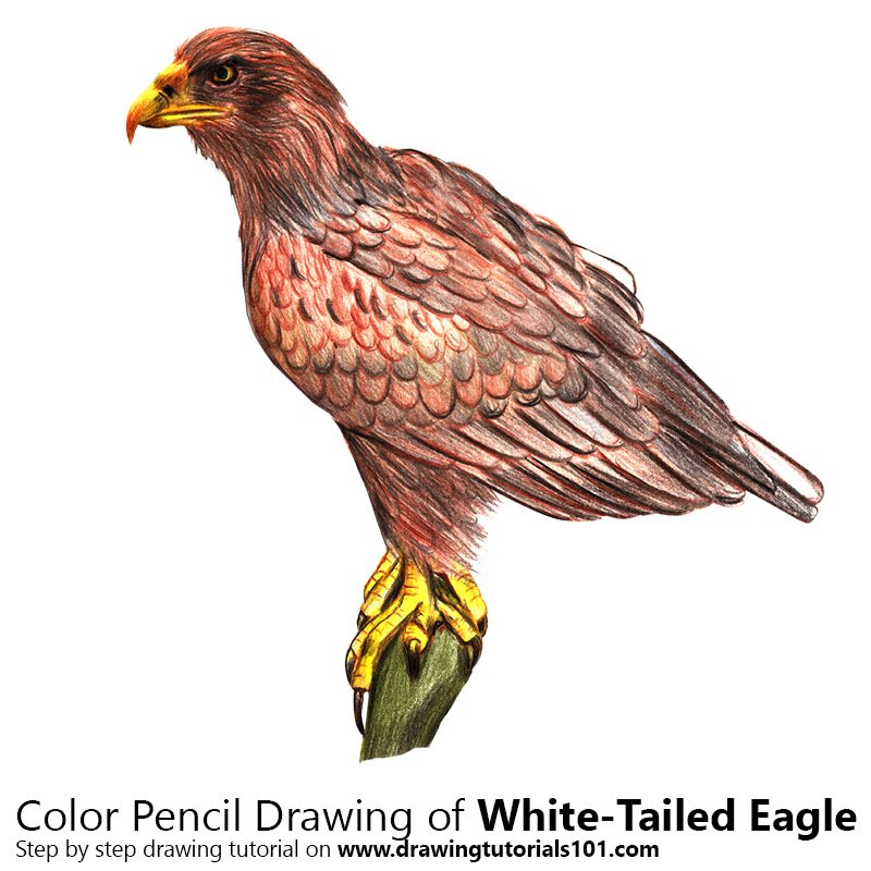 White-Tailed Eagle Color Pencil Drawing