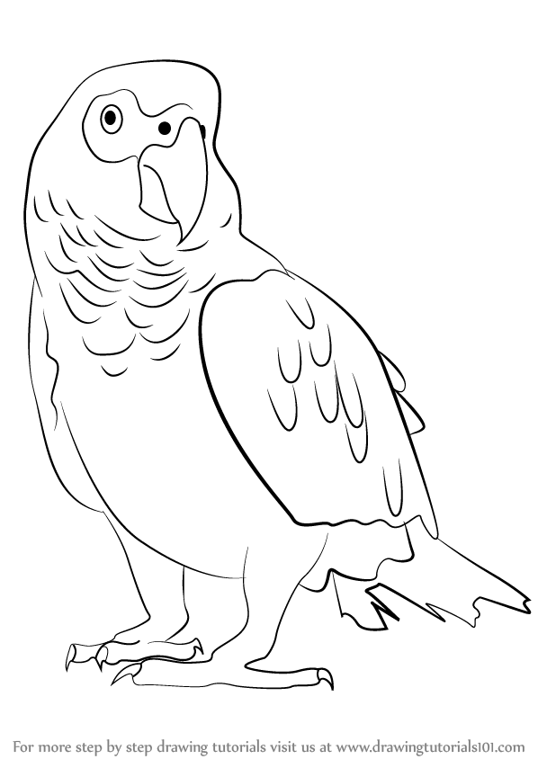 d50e3380fd44b Step by Step Drawing tutorial on How to Draw an African Grey Parrot