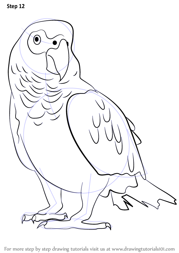 Learn How to Draw an African Grey Parrot Birds Step by