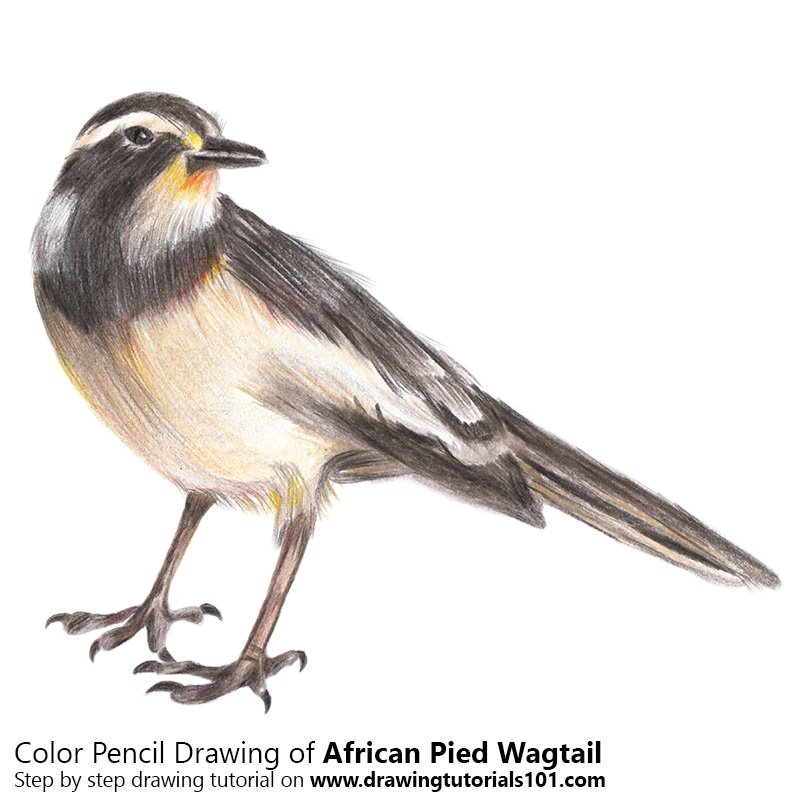 African pied wagtail Color Pencil Drawing