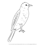 How to Draw an African Red-Eyed Bulbul