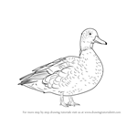 How to Draw a American black duck