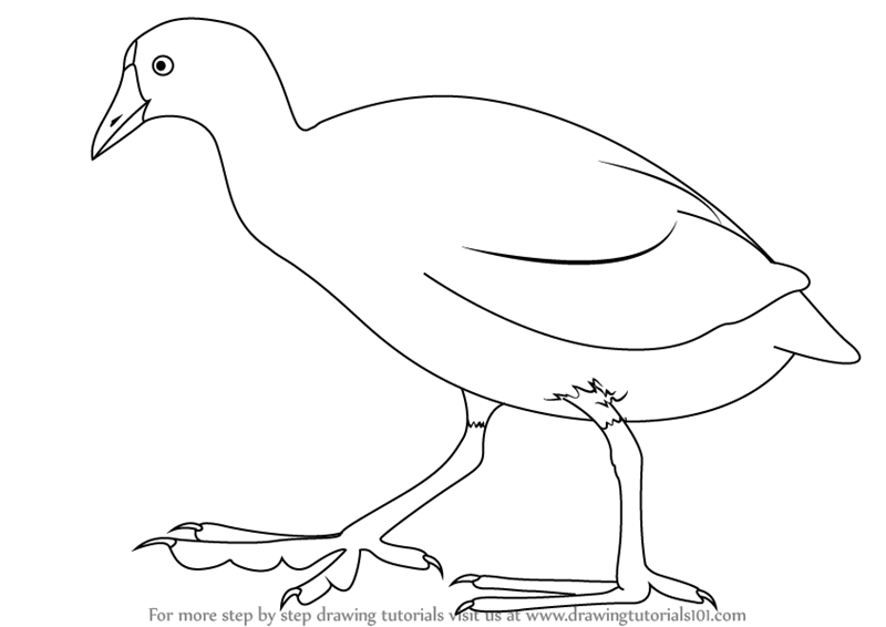 Learn How To Draw An American Coot Birds Step By Step Drawing Tutorials
