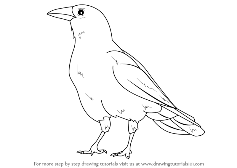learn how to draw an american crow birds step by step drawing tutorials