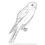 How to Draw an American Kestrel