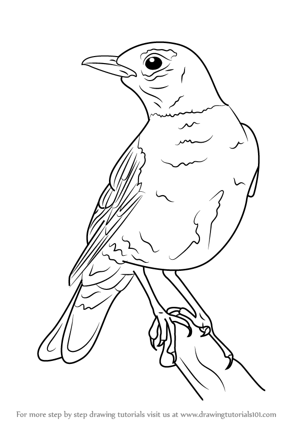 Step By Step How To Draw An American Robin