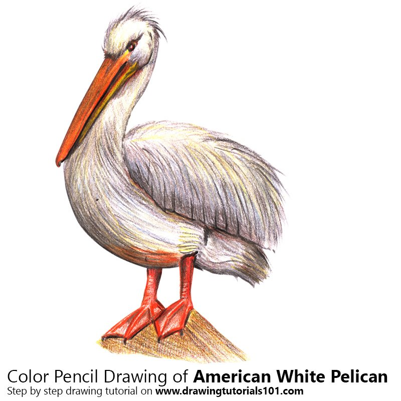 American White Pelican Color Pencil Drawing