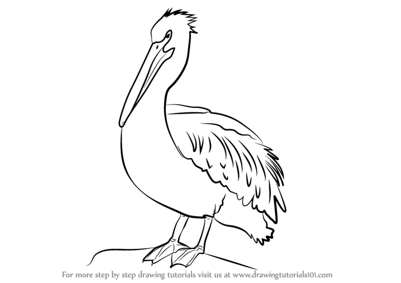 Learn How To Draw An American White Pelican Birds Step By Step Drawing Tutorials