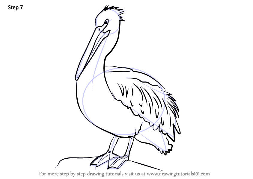 Learn How To Draw An American White Pelican Birds Step