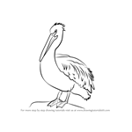 How to Draw an American White Pelican