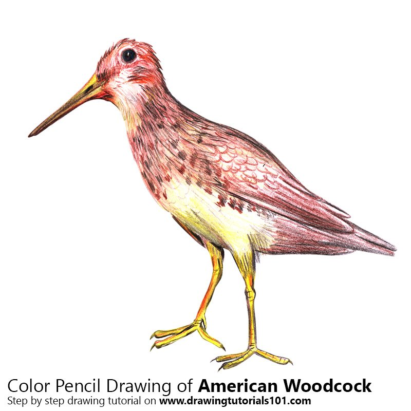 American Woodcock Color Pencil Drawing