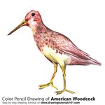 How to Draw an American Woodcock