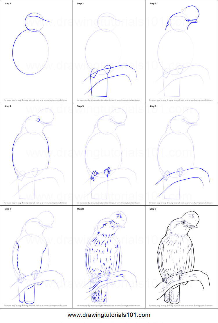 How to Draw an Andean cockoftherock