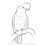 How to Draw an Andean cock-of-the-rock