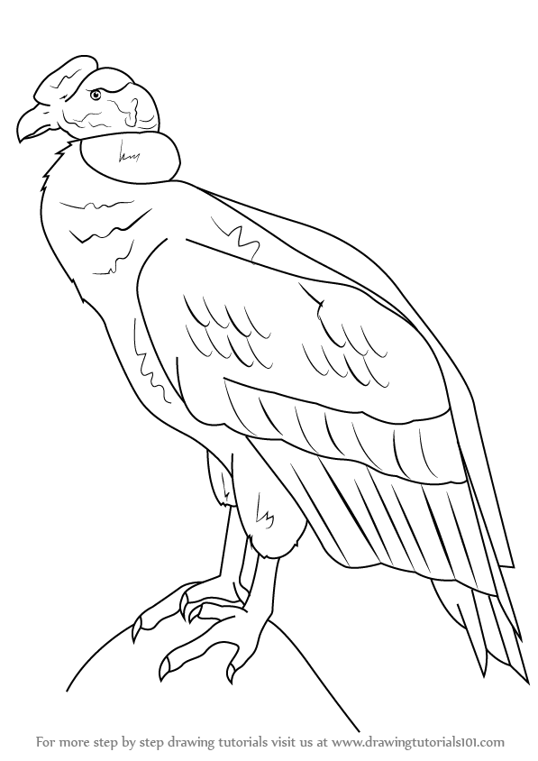 Learn How to Draw an Andean condor (Birds) Step by Step
