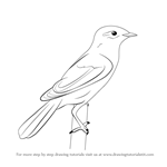 How to Draw a Aquatic Warbler