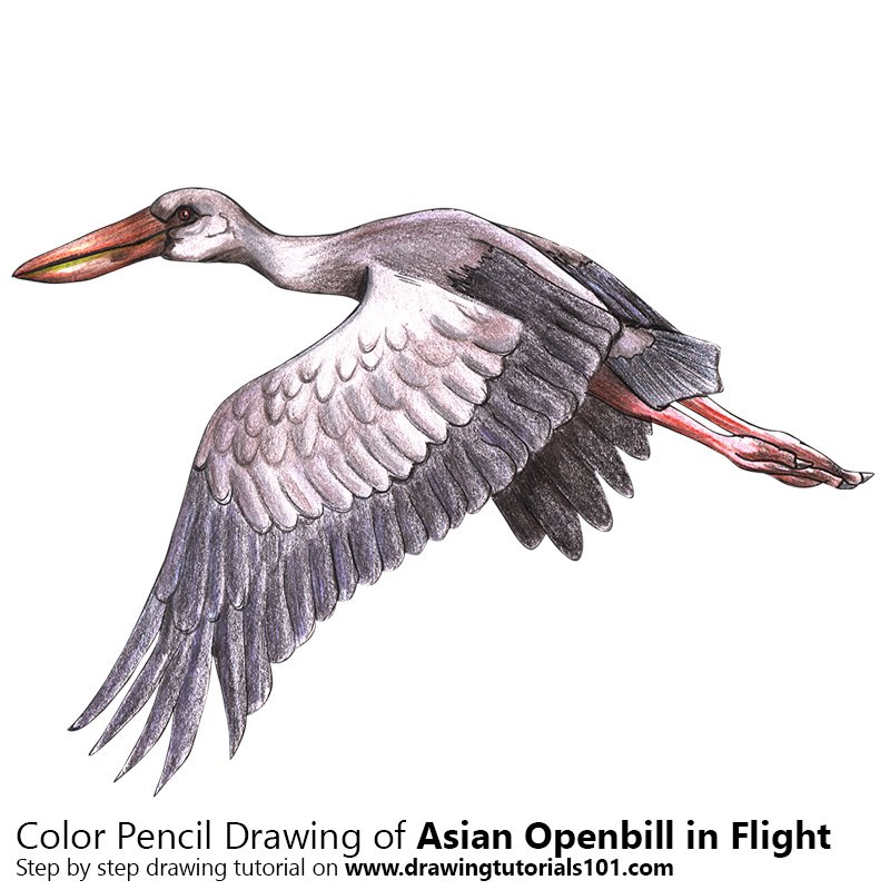Asian Openbill in Flight Color Pencil Drawing