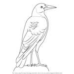 How to Draw an Australian Magpie