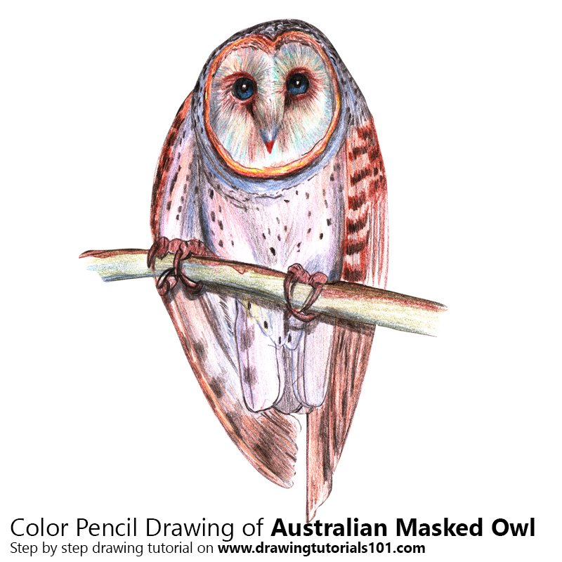 Australian Masked Owl Color Pencil Drawing