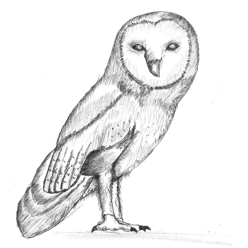 Barn Owl Pencil Drawing - How to Sketch Barn Owl using ...