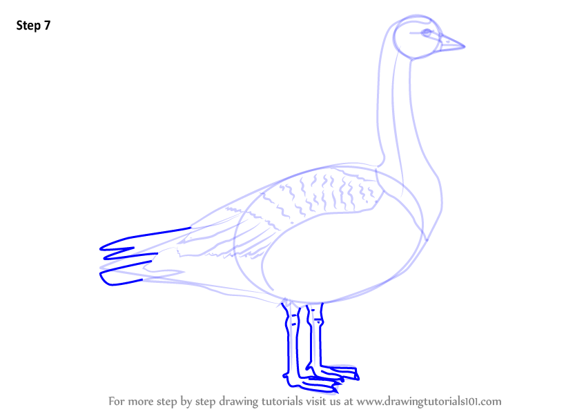Learn How to Draw a Barnacle Goose