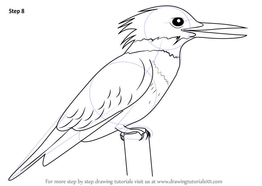 Learn How To Draw A Belted Kingfisher Birds Step By Step