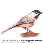 How to Draw a Black-Capped Chickadee