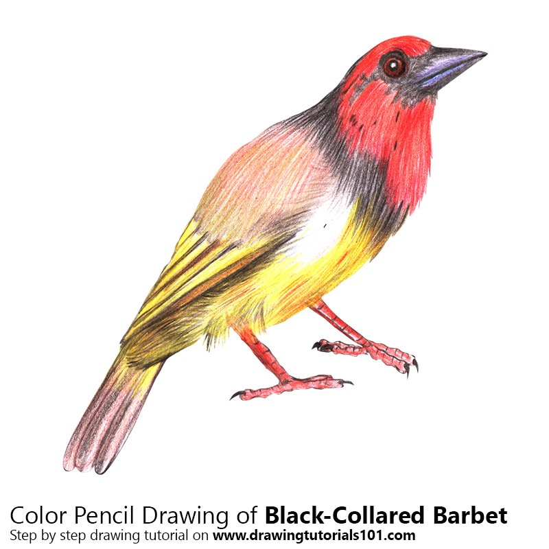 Black-Collared Barbet Color Pencil Drawing
