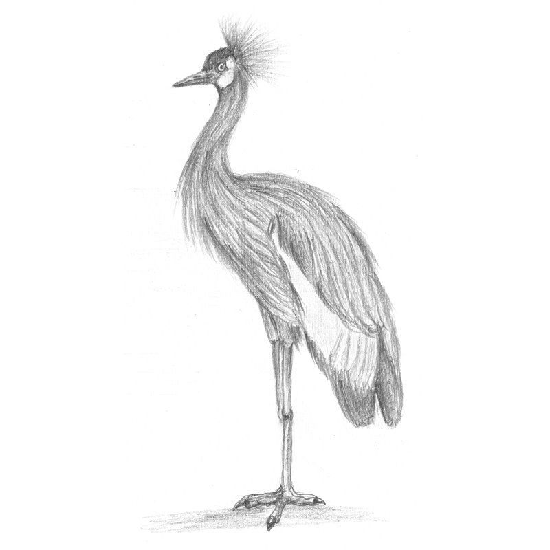 Black Crowned Crane Pencil Drawing - How To Sketch Black Crowned Crane Using Pencils ...