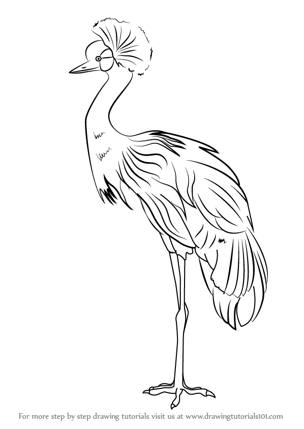 Step By Step How To Draw A Black Crowned Crane