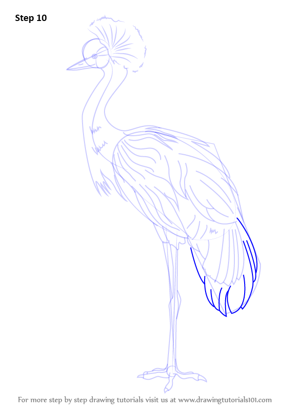 Step by step how to draw a black crowned crane for Crane tutorial