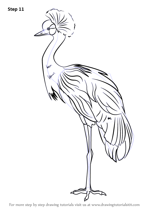 Learn How To Draw A Black Crowned Crane Birds Step By
