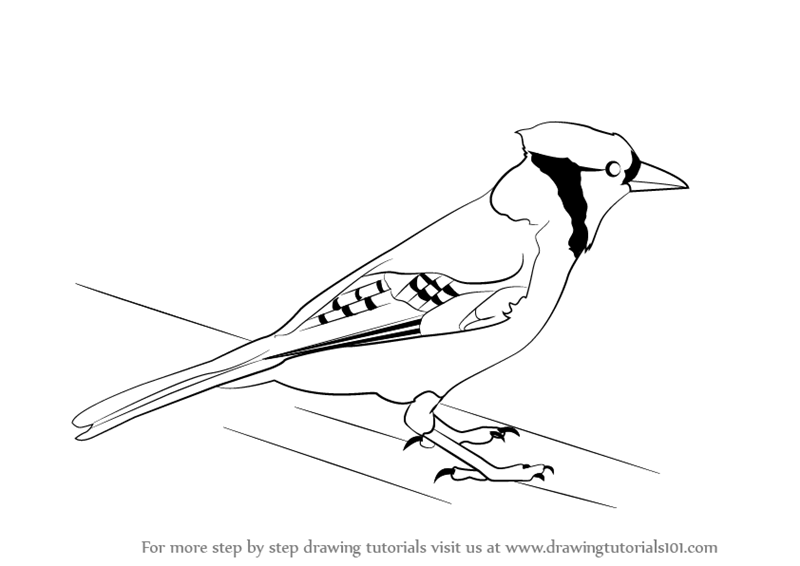 Line Drawing Step By Step : Step by how to draw a blue jay drawingtutorials
