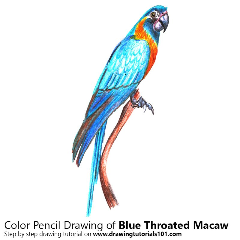 Blue Throated Macaw Color Pencil Drawing