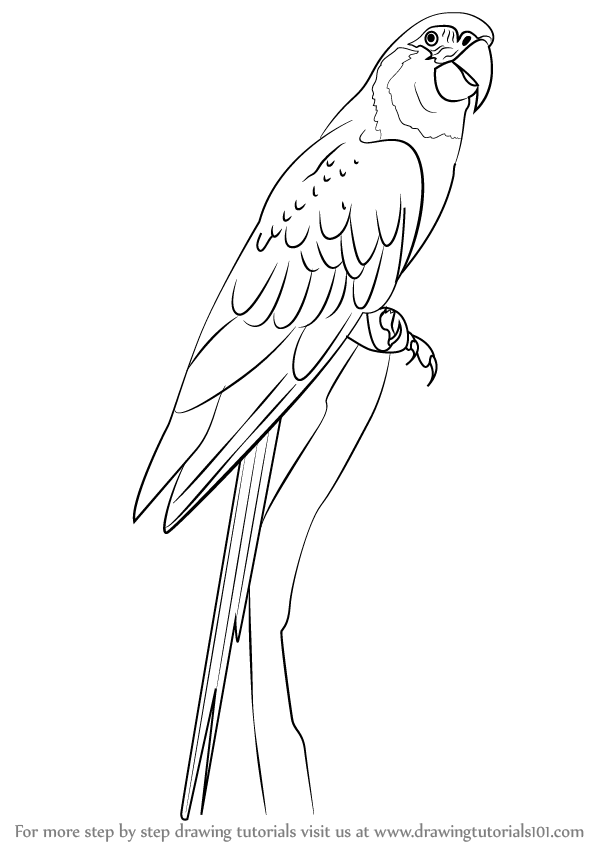 macaw drawing step by step - photo #8