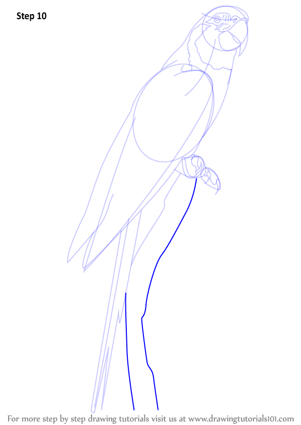 macaw drawing step by step - photo #9