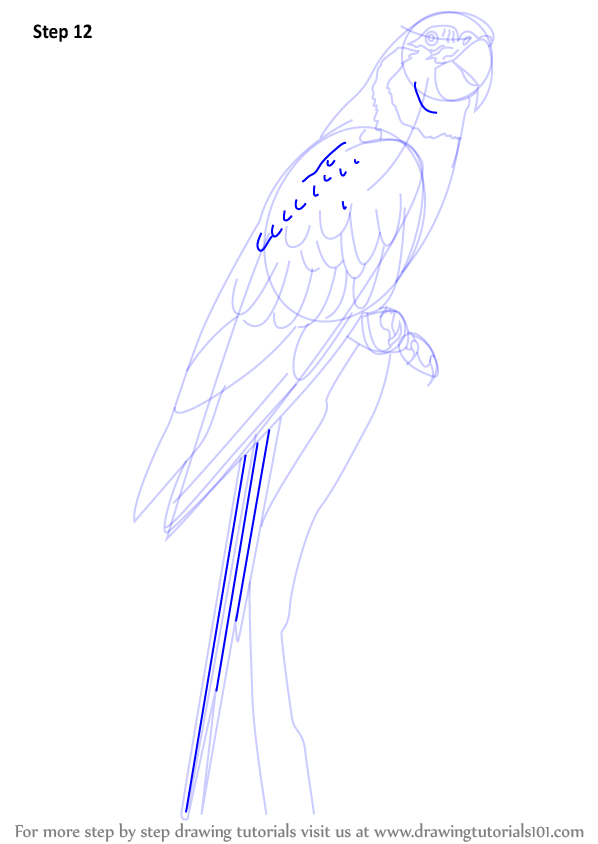 macaw drawing step by step - photo #16