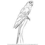 How to Draw a Blue Throated Macaw