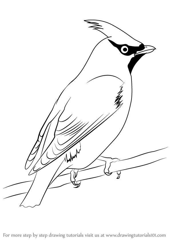 Learn how to draw bohemian waxwing birds step by step drawing tutorials