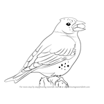 How to Draw a Brambling